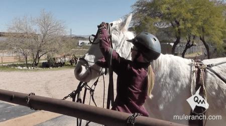 girl installing bridle on ear shy mule