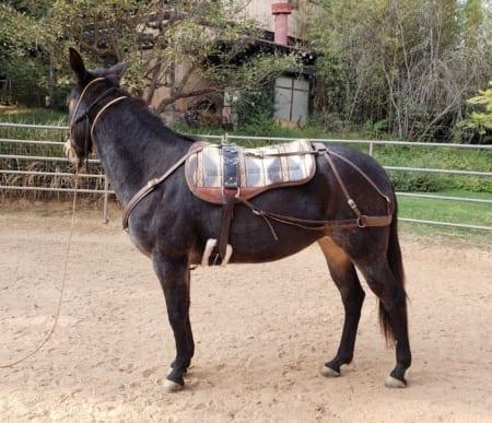 Donkey and Mule Surcingle