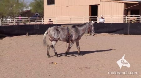 Mule in round pen with surcingle training