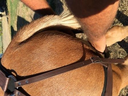 beta britchen mule tack and equipment
