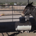 Steve Edwards using the Come-A-Long Rope in Halter Training