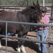 halter training with a mule