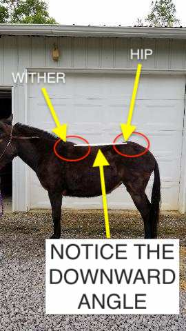 Picture of a mule with a downhill hip