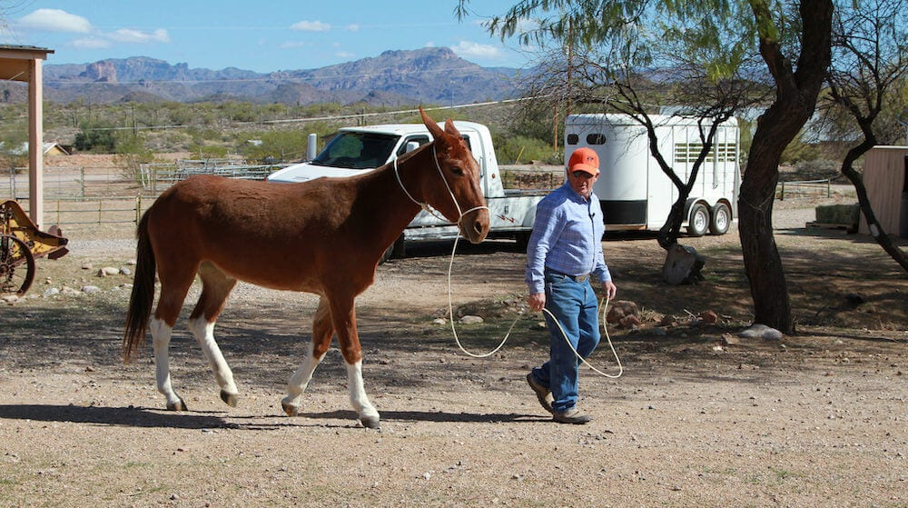 Steve Edwards training a mule using the come-a-long rope.