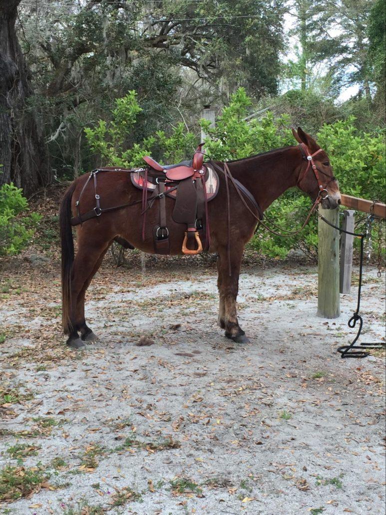 David Richardson's mule with full tack